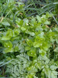 chickweed and hemlock